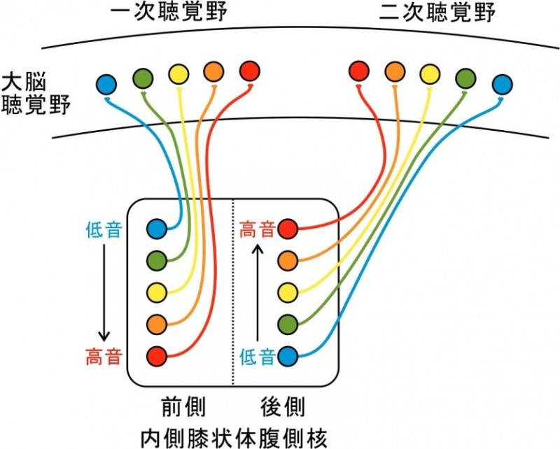 鹿児島大学大学院 医歯学総合研究科音の情報を大脳に運ぶ経路の詳細が明らかに-解剖学の教科書に描かれた聴覚伝導路の大改訂